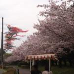 桜見逃した(泣)と思ったら、小山総合公園で鯉のぼりと桜のコラボが見れた!
