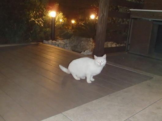 ネスタリゾート ロイヤルスイートC 猫が遊びに来ました